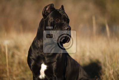 Large Dog Breed Cane Corso Black Beautiful Large Portrait Fototapete