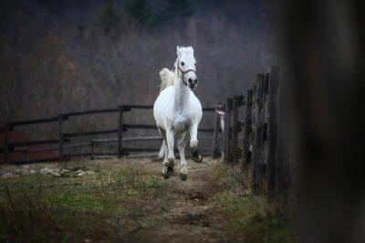 Fototapete Laufendes weißes Pferd