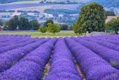 Fototapete Lavander fields in Provence