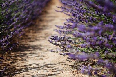Fototapete Lavendel blühende Felder in der Provence, Frankreich