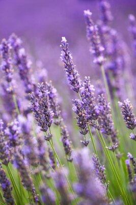 Fototapete Lavendel Blumen