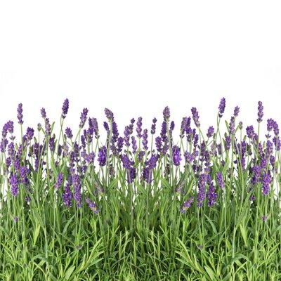 Fototapete Lavendel Blumen auf weiß isoliert