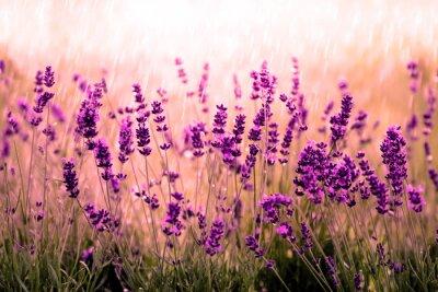 Fototapete Lavendel rot