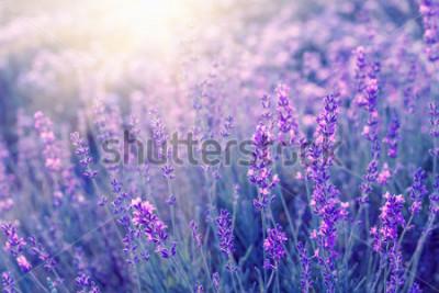 Fototapete Lavendelbuschnahaufnahme auf Sonnenuntergang. Sonnenuntergangschimmer über purpurroten Blumen des Lavendels. Büsche in der Bildmitte und links Sonnenlicht. Provence Region Frankreich.