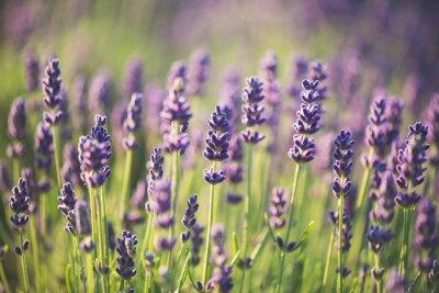 Fototapete Lavendelfarben