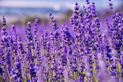 Fototapete Lavendelfeld im Sommer