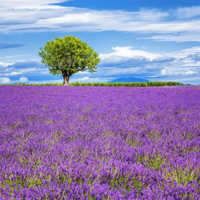 Fototapete Lavendelfeld mit Baum