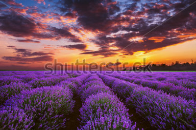 Fototapete Lavender flower blooming fields in endless rows. Sunset shot.