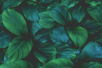 Fototapete leaves of Spathiphyllum cannifolium, abstract green texture, nature background, tropical leaf