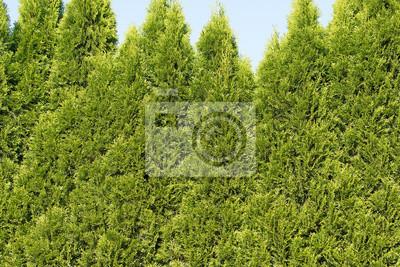 Lebensbaum Thuja Hecke Fototapete Fototapeten Zierpflanze Thuja