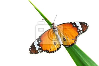 Lebt Monarch-Schmetterling isoliert auf weiß, Clipping-Pfad