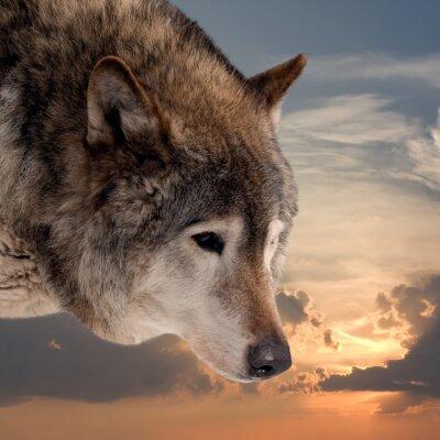 Fototapete Leiter des Wolfs gegen Sonnenuntergang Himmel