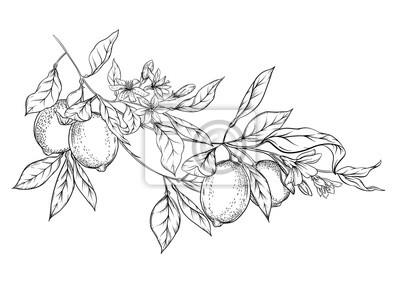 Fototapete Lemon tree branch with lemons, flowers and leaves. Element for design. Outline hand drawing vector illustration. Isolated on white background..