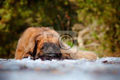 Leonberger Hund liegend auf Schnee