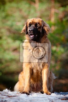 Leonberger Hund Porträt