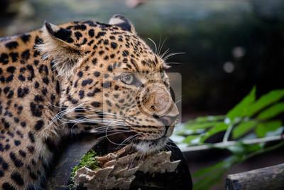 Leopard im Bildnis