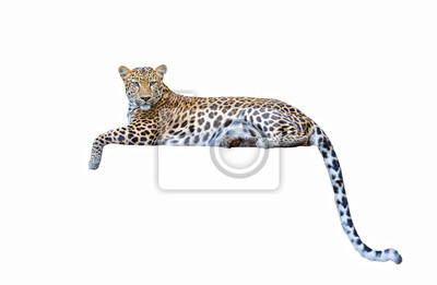 Fototapete leopard isolated on white background
