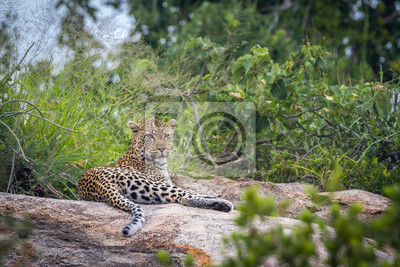 Leopard lying down on rock in Kruger National park, South Africa ; Specie Panthera pardus family of Felidae