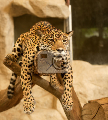 Leopard ( Tiger)