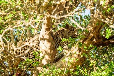 Fototapete Leopard versteckt sich in einem Baum