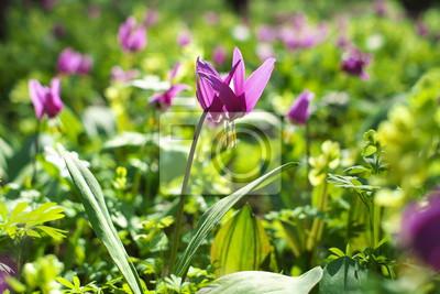 Lila Blumen Im Fruhjahr Wald Fototapete Fototapeten Liliaceae