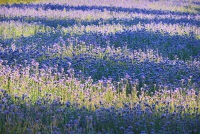 Fototapete Lila Blütenfeld