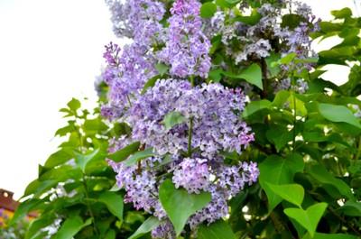 Lila Großer Gartenstrauch Mit Lila Lila Oder Weiß Duftenden