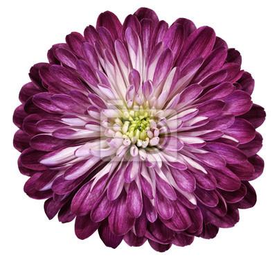 Lila-rosa blume chrysantheme, garten blume, weiß isoliert ...