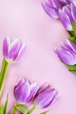 Fototapete Lila Tulpen auf rosa Hintergrund