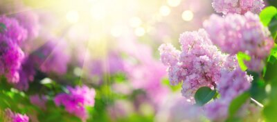 Fototapete Lilac spring flowers bunch violet art design background. Blooming violet lilac flowers in a garden