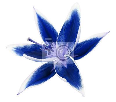 Lilie blaue blume auf einem weißen hintergrund mit clipping-pfad ...