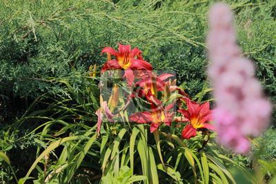 Lilien Im Garten Fototapete Fototapeten Liliaceae Hemerocallis