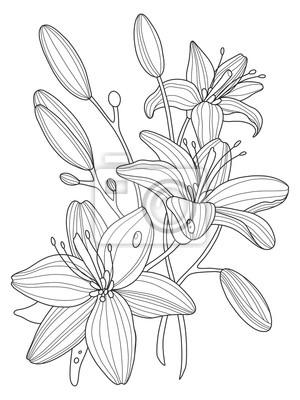 Lily blumen färbung buch vektor-illustration fototapete ...
