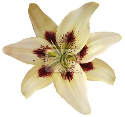 Lily weiß-gelbe blume mit clipping-pfad, auf einem weißen ...