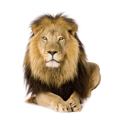 Fototapete Lion (4 und ein halb Jahren)