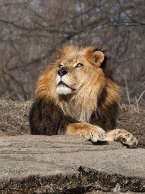 Fototapete Lion Blick auf den Himmel
