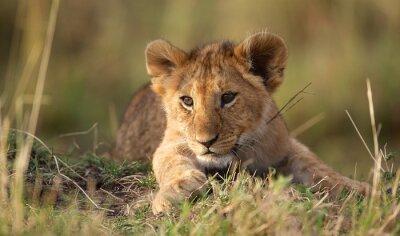 Fototapete Lion cub