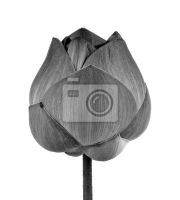 Lotus-blume in schwarz und weiß auf weißem hintergrund fototapete ...