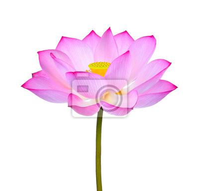 Lotus blume isoliert auf weißem hintergrund fototapete • fototapeten ...