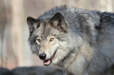 Fototapete Loup gris d amérique