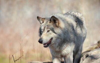 Fototapete Loup sauvage en automne