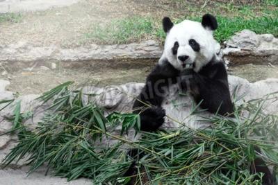 Fototapete Lovely Panda essen Bambus