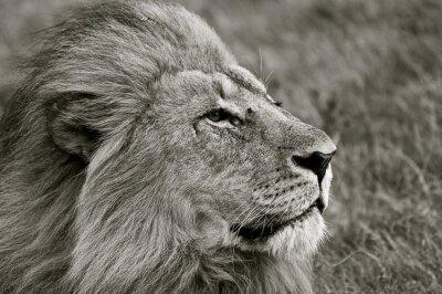 Fototapete Löwe blickt über Savanne