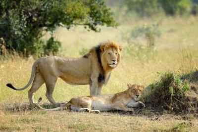 Fototapete Löwe im Nationalpark von Kenia, Afrika