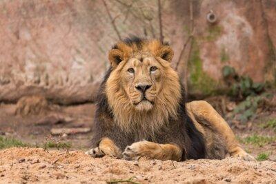 Fototapete Löwe im Park
