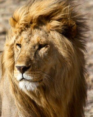 Fototapete Löwe in Afrika