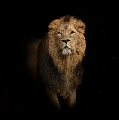 Fototapete Löwen Porträt auf schwarzem