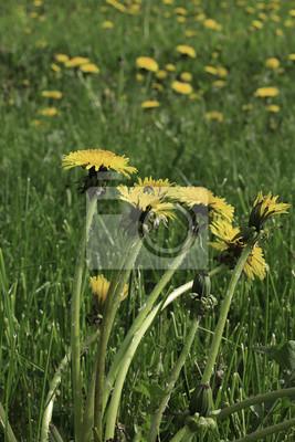 Löwenzahn Gelbe Blume Wächst Im Frühjahr Auf Dem Grünen Rasen
