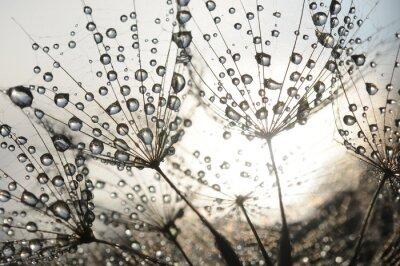 Fototapete Löwenzahn Samen mit Tautropfen