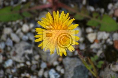 Löwenzahn (Taraxacum) Blüte von vorne